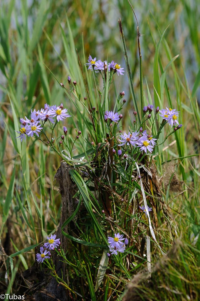 Strand-Asters